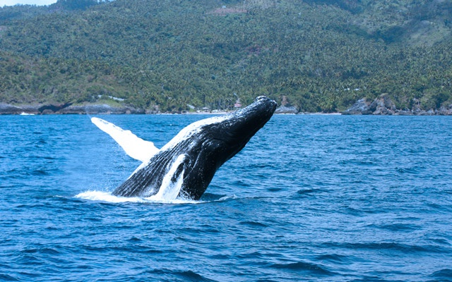 Whale Watching Tours in Samana Bay Dominican Republic.